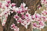 Yulan Magnolia Tree Blossoms, Louisville, Kentucky Photographic Print by Adam Jones