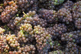 Canada, British Columbia, Cowichan Valley. Wine Grapes at a Cowichan Vineyard Photographic Print by Kevin Oke