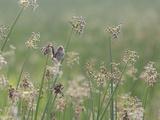 Washington State, Ridgefield National Wildlife Refuge. Marsh Wren Singing on Reed Reproduction photographique par Jaynes Gallery