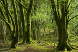 Mossy Trees Near Torc Waterfalls, Killarney National Park, County Kerry, Ireland Photographic Print by Brian Jannsen