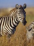 Zebra Portrait, Kenya, Africa Photographic Print by Tim Fitzharris