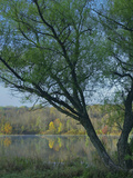Willow Tree at Lackawanna Lake, Lackawanna State Park, Pennsylvania, Usa Photographic Print by Tim Fitzharris