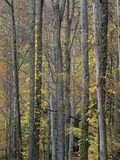 Sycamore Trees, Great Smoky Mountains National Park, Tennessee, Usa Photographic Print by Tim Fitzharris