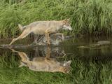 Gray Wolf Running Through Water, Minnesota Photographic Print by Adam Jones