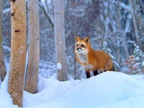 Red Fox in Snowy Birch Forest, Wyoming, Usa Photographic Print by Tim Fitzharris