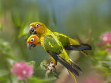 Conure Parrots, Costa Rica Photographic Print by Tim Fitzharris
