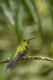 Costa Rica, Monteverde Cloud Forest Biological Reserve. Hummingbird on Limb Photographic Print by Jaynes Gallery