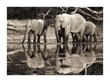 African elephants, Okavango, Botswana Prints by Frank Krahmer