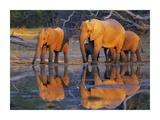 African elephants, Okavango, Botswana Posters by Frank Krahmer