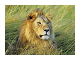 African lion, Masai Mara, Kenya Prints by Frank Krahmer