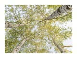 Birch woods in spring Poster by  Pangea Images