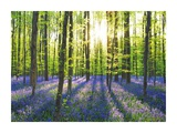 Beech forest with bluebells, Belgium Prints by Frank Krahmer