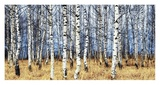 Birch grove in autumn Poster by Oleg Znamenskiy