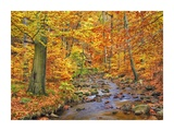 Beech forest in autumn, Ilse Valley, Germany Prints by Frank Krahmer