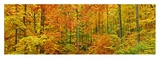 Beech forest in autumn, Kassel, Germany Posters by Frank Krahmer