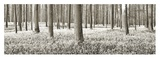 Beech forest with bluebells, Belgium Posters by Frank Krahmer
