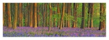 Beech forest with bluebells, Hampshire, England Posters by Frank Krahmer