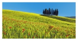 Cypress and corn field, Tuscany, Italy Prints by Frank Krahmer