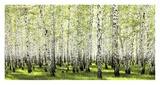 Birch forest in spring Posters by  Anonymous