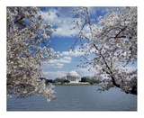Jefferson Memorial with cherry blossoms, Washington, D.C. Prints by Carol Highsmith