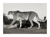 Cheetah, Namibia, Africa Posters by Frank Krahmer