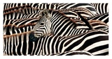 Herd of zebras Prints by  Pangea Images