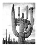 Saguaro National Monument, Arizona, ca. 1941-1942 Affiches par Ansel Adams
