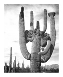 Saguaro National Monument, Arizona, ca. 1941-1942 Posters por Ansel Adams