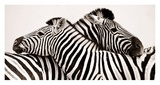 Zebras in love Print by  Anonymous