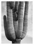 Detail of cactus Saguaros, Saguro National Monument, Arizona, ca. 1941-1942 Poster par Ansel Adams