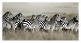 Grant's zebra, Masai Mara, Kenya Posters by Frank Krahmer