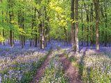 A Bluebell Path Giclee Print by Assaf Frank