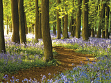 Through the Bluebells Giclee Print by Assaf Frank