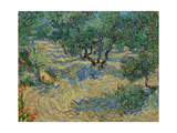 Olive Orchard Premium Giclee Print by Vincent van Gogh