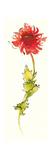 Peony Form Poppies II Prints by Shirley Novak