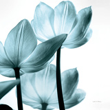 Translucent Tulips III Sq Aqua Crop Giclée-Premiumdruck von Debra Van Swearingen
