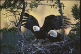 A Pair of Northern American Bald Eagles in their Treetop Nest Photographic Print by Michael S. Quinton