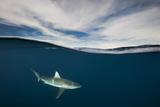 A Grey Reef Shark Swims in Kimbe Bay Fotografie-Druck von David Doubilet