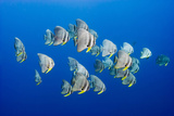 A Small School of Batfish Swim in Kimbe Bay's Jayne's Gulley Fotografie-Druck von David Doubilet