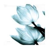 Translucent Tulips II Sq Aqua Crop Giclée-Premiumdruck von Debra Van Swearingen