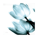 Translucent Tulips II Sq Aqua Crop Prints by Debra Van Swearingen