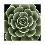 Green Succulent IV Giclee Print by Mia Jensen