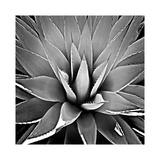 Succulent III Giclee Print by Mia Jensen