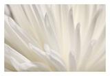 White Flower Prints by  PhotoINC Studio