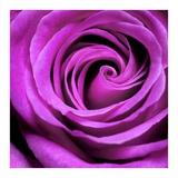 Purple Rose Posters by  PhotoINC Studio