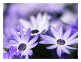 Purple Flowers Posters by  PhotoINC Studio