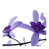 Purple Blossom Print by  PhotoINC Studio