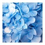 Blue Flowers Posters by  PhotoINC Studio