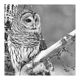 White Owl Prints by  PhotoINC Studio