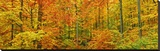 Beech forest in autumn, Kassel, Germany Stretched Canvas Print by Frank Krahmer